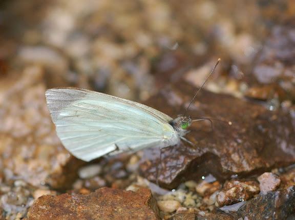 Pierinae : Leptophobia aripa BOISDUVAL, 1836. Allapa, route de Satipo (Junin, Pérou), 7 janvier 2011. Photo : Meena