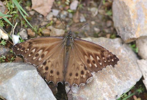 Satyrini : Pronophilina : Junea doraete HEWITSON, 1858. Route de Satipo près d'Allapa (Junin, Pérou), 8 janvier 2011. Photo : Meena