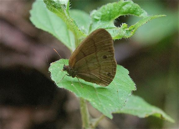 Satyrinae : Euptychiina : Posttaygetis penelea Cramer, 1777 (?). San Antonio (1400 m), route de Satipo (Junin, Pérou), 6 janvier 2011. Photo : Meena