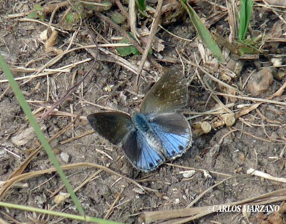 Strymon bazochii GODART, 1824, femelle. Villa Amancay, Cordoba (24 avril 2011). Photo : Carlos Marzano