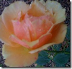 Peach Rose Square