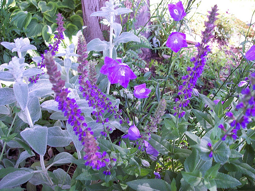 Hyssop Hyssopus Officinalis - Healing Magic