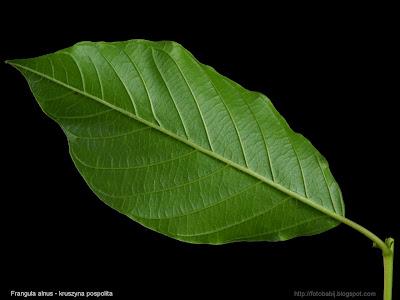 Frangula alnus leaf - Kruszyna pospolita liść
