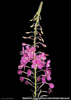 Epilobium angustifolium inflorescence - Wierzbówka kiprzyca kwiatostan