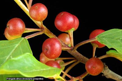 Frangula alnus young fruit - Kruszyna pospolita młode owoce