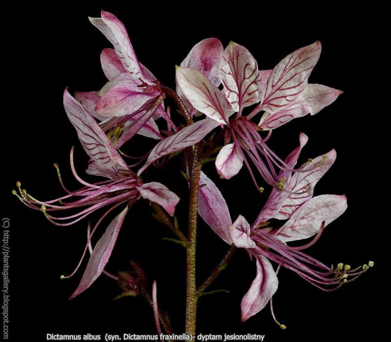 Dictamnus fraxinella flowers - Dyptam jesionolistny kwiaty