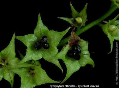 Symphytum officinale fruit - Żywokost lekarski owoce