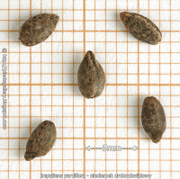 Impatiens parviflora seeds - Niecierpek drobnokwiatowy nasiona