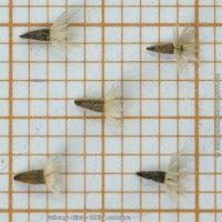 Galinsoga ciliata seeds - Żółtlica owłosiona nasiona