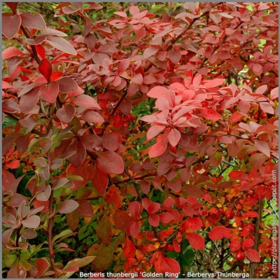 Berberis thunbergii 'Golden Ring' - Berberys Thunberga 'Golden Ring'