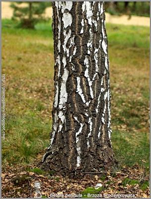 Betula pendula  - Brzoza brodawkowata