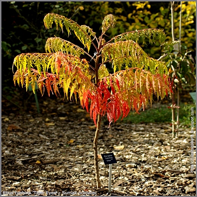 Rhus typhina 'Tiger Eyes' - Sumak octowiec 'Tiger Eyes'
