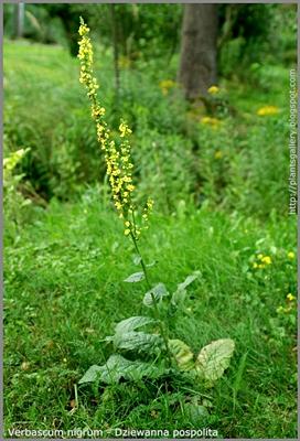 Verbascum nigrum - Dziewanna pospolita