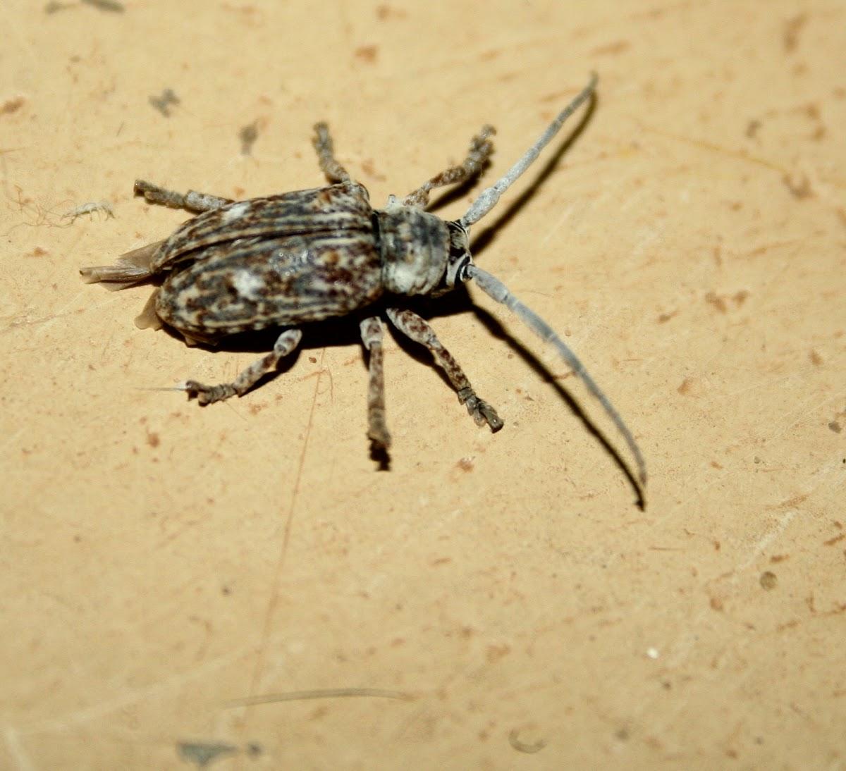 Dumpy Longhorn beetle