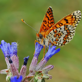 Love of Pollen  by Emre Tunç - Novices Only Macro ( kelebek, iperhan, macro, pollen, butterfly, emre tunç, beautiful iperhan, polen, makro, emretunc, güzel iperhan )