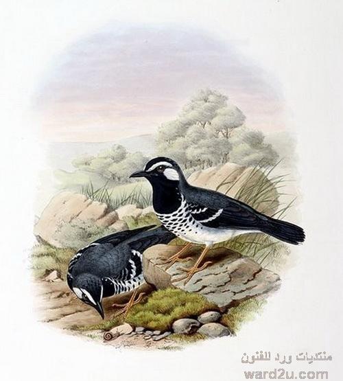 رسومات عصافير و طيور فى ورد للفنون