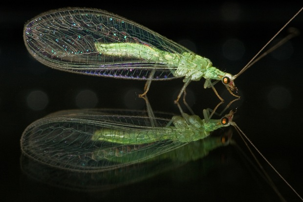 Lacewing-reflected