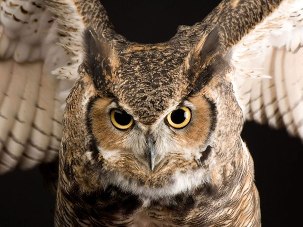 The most common owl in North and South America, the great horned owl has adapted to a wide variety of habitats and climates.