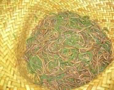 Nyale worm