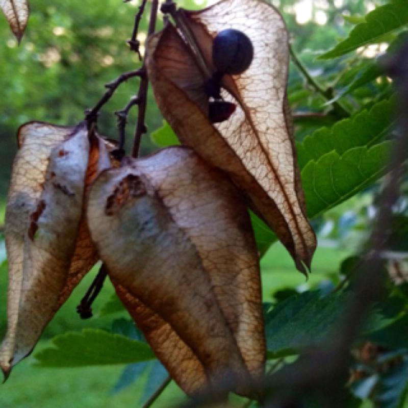 Goldenrain Tree Seed Pod
