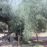 olivos milenarios ulldecona.Agroturismo en Tarragona