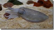 180px-CuttlefishSAq