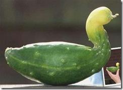 cucumber-duck
