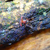 Hammerhead Fruit Fly