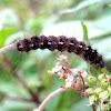 Lepidoptera catterpillar