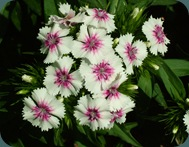 Sweet William Dianthus barbatua Caryophyllaceae (3)
