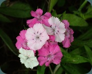 Sweet William Dianthus barbatua Caryophyllaceae (15)