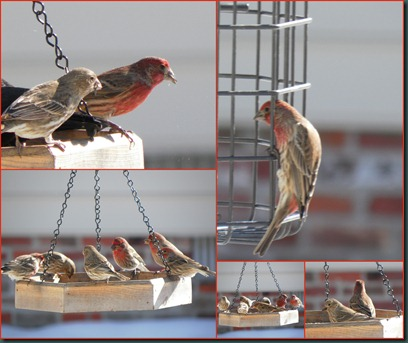 finches feeding collage