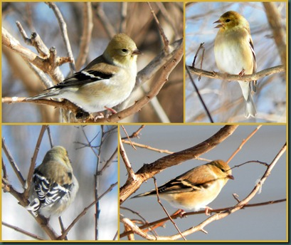 goldfinch collage2