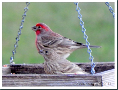 finch couple