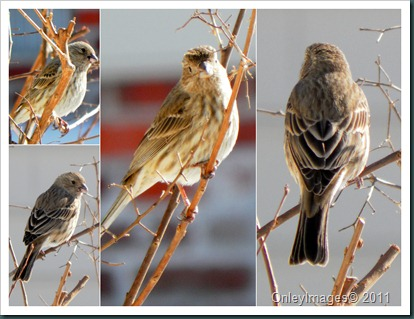 female finch collage1