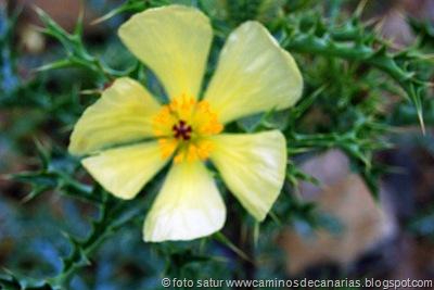 439 Arteara - S. Fernando (Amapola espinosa)