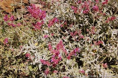 1067 Arteara-S.Fernando(Salvia roja)