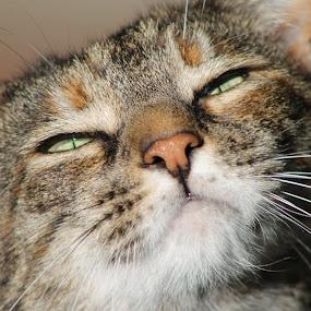 Taz pretty face by Frank Gualtieri - Animals - Cats Portraits ( , #GARYFONGPETS, #SHOWUSYOURPETS )