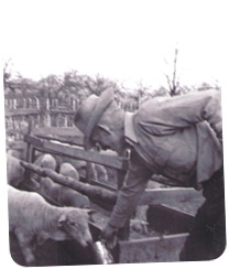 Huggard Frank feeding sheep_sm