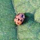 Ladybird pupa?