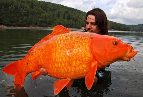 giant-goldfish-photos-pictures-a-30-pound-koi-carp-fish-youtube-video