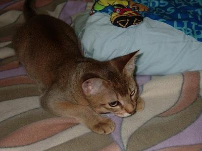 사냥감 찾는 고양이 바토 [고양이,고양이키우기,고양이집사,반려묘,cat]