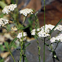 Yarrow (with bee)