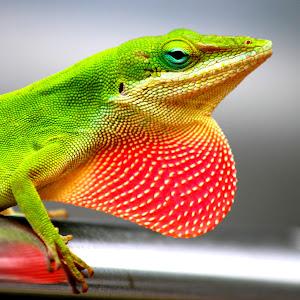 Lizard 091.JPG