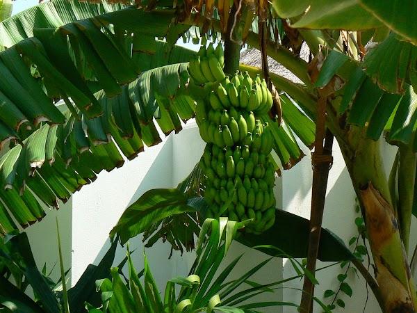 Cazare Maldive: Velassaru banane.JPG