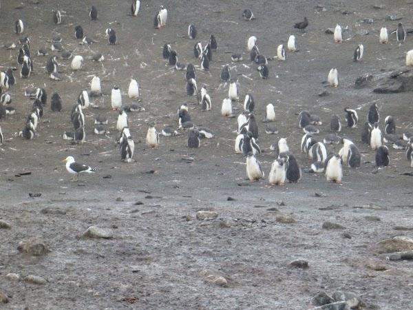 Imagini Antarctica: printre pinguini.JPG