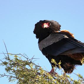 Bateleur Eagle by Arun Prasanna - Animals Birds ( #eagle #bataleur #birds #africa )