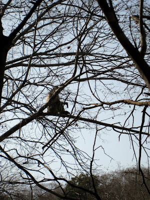 Monkey in Ranthambore National Park in India
