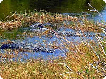 lots-of-gators