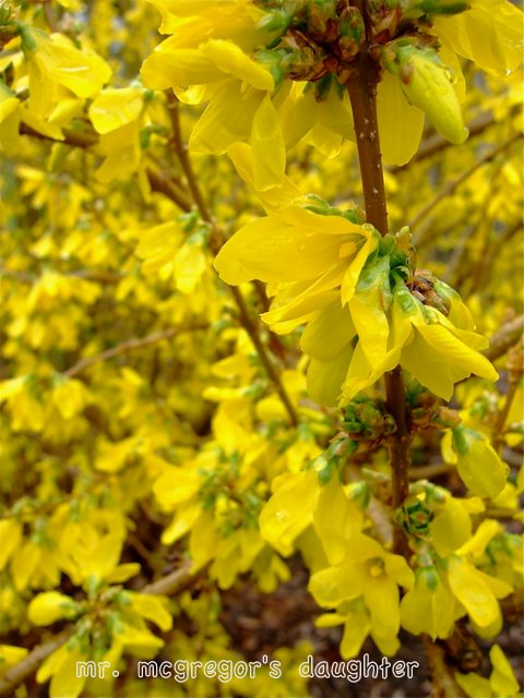 In Defense of Forsythia